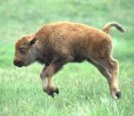 Keep Baby Buffalo Safe