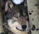 Adopt a Wolf