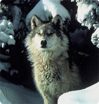 Help Save Alaska's Wolves!
