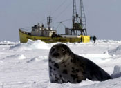 We Can Permanently End Canada's Commercial Seal Hunt