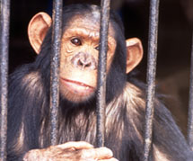 To make matters worse, orphaned chimp babies are sold into the pet trade.
