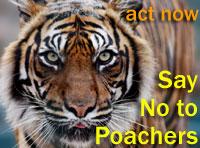 野生のトラを侵入者から保護してください