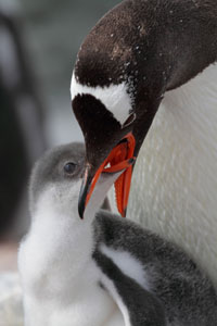 Gentoo penguin parent regurgitating krill to young, Antarctic Peninsula, Antarctica.