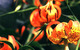Turks Cap Lily (eastern USA) by Dorothy S. Long