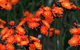 Orange Hawkweed (New Hampshire, USA) by Dorothy S. Long