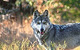 Mexican Gray Wolf by John Wasserman