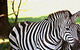 Plains Zebra by John Wasserman