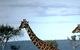 Giraffes walking (Kenya) by Peponi/Van Dyke