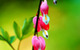 Bleeding Hearts flowers (USA) by Brent Reed