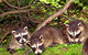 Raccoon Cubs by John Wasserman