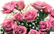 Lavender Roses by ProFlowers