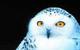 Snowy Owl by Leo & Dorothy Keeler