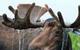 Bull Moose by Leo & Dorothy Keeler