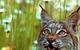 Lynx in Montana by Leo & Dorothy Keeler