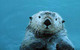 Sea Otter by Leo & Dorothy Keeler