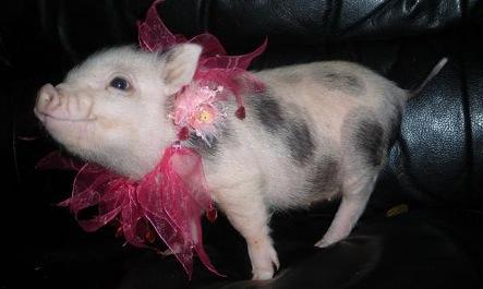 Cute Teacup Pigs In Tutus