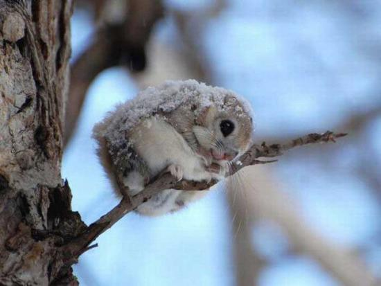 japanese_dwarf_flying_squirrel_snow-600x4501.jpg