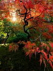 Japanese Maple  001