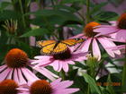 Monarch on Coneflower.JPG