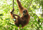 Save Our Trees - Save The Orangutans