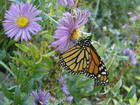 Monarch in Wetland Garden.JPG