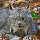 lynx2_ashley-hockenberry.jpg