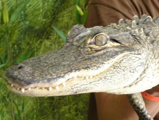 Happy the Alligator