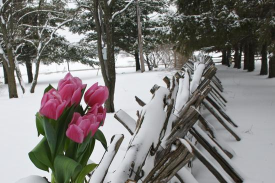 Tulips in the winter