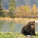 bear in BristolBay