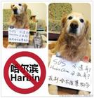 SOS! Save our lovely dogs! save the dogs in Haerbin China