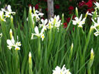 White Dutch Irises