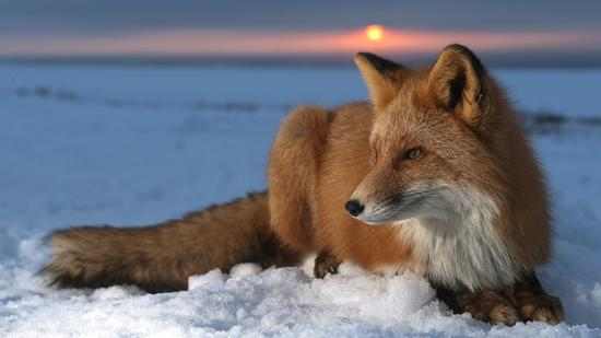 Fox_on_Snow_HD_Wallpaper_1366x768_3304.jpg