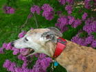 Remy in the lilac dell
