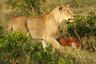 Young lioness with her kill