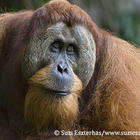 adulat male orangutan