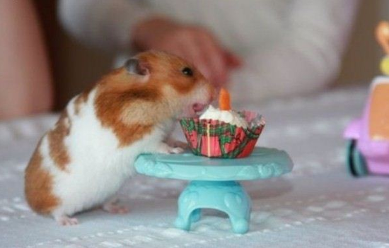 hamster birthday.png
