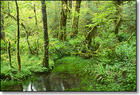 hoh_rainforest_400.jpg