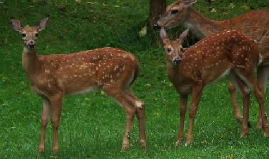 doe and fawns 2012.JPG