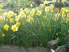 daffies in the sunshine