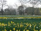 rows of trees and daffodils