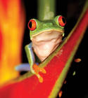 A tree frog