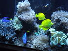 fish-yellow tang and blue hippo tang
