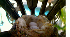 Hummingbird eggs laid march 14 and 16