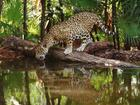 Jaguar in the Wild Drinking