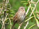 Song Sparrow Stanley Park May11 08