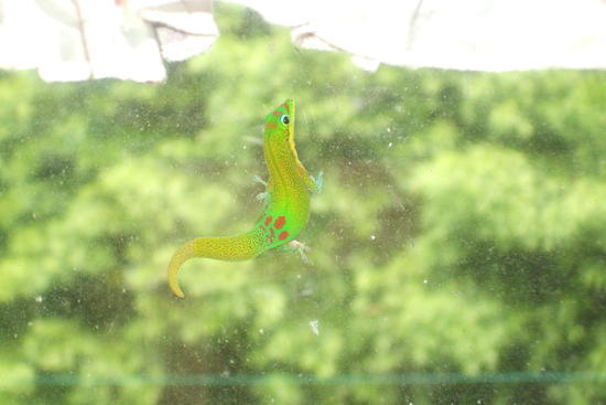 The green day gecko