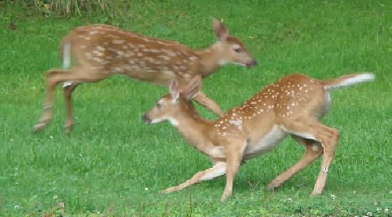 Playful fawns