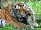 tiger mommy & baby