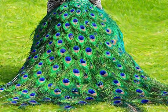 Peacock Hooter