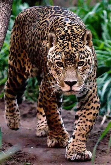 The Magnificent Jaguar